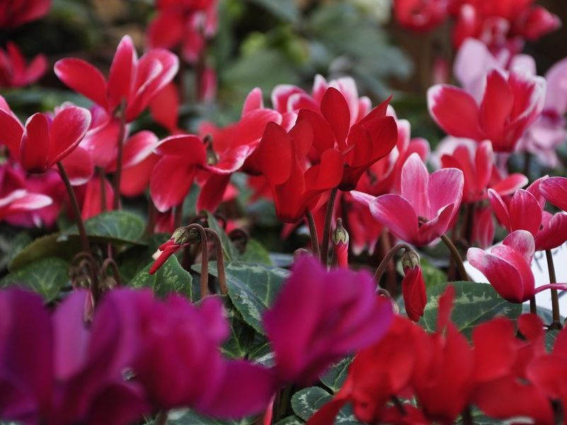 cvet ciklama