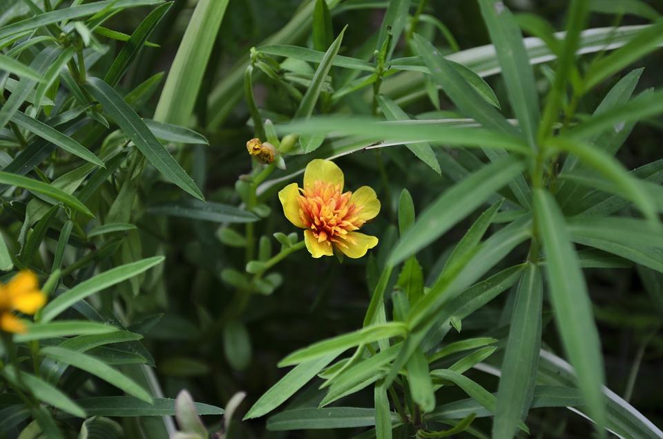 estragon biljka