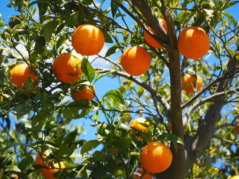narandže na drvetu