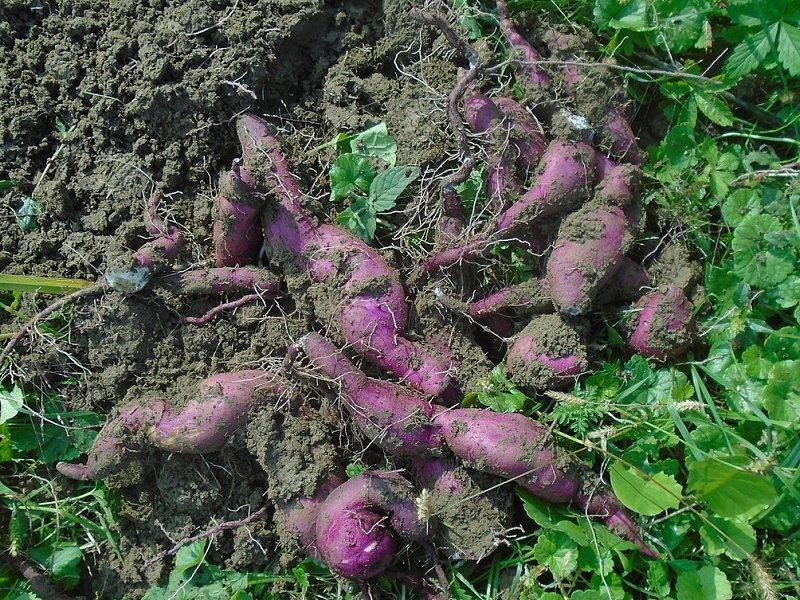 batat - slatki krompir